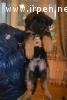 Готуються до продажу цуценята породи німецька вівчарка