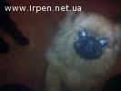 Найден щенок пекинеса