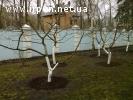 Обрезка плодовых деревьев и кустарников. Консультация.
