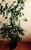 Цветок Фикус Бенджамина (высота 150см)